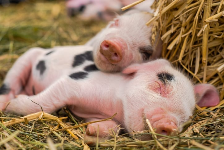 Piglets Sleeping - Baby Pigs - Cumberland Buildings Animal Shelters