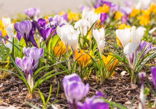 Make Winter Seem Shorter – Naturalize Bulbs Now for Early Spring Blooms